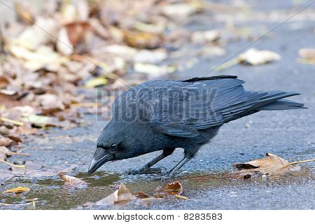 Carrion Crow Drinking from Puddle