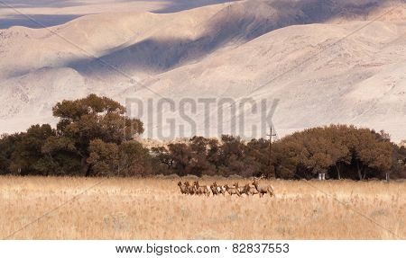 Male Bull Elk Leads Female Animal Brood Mates Livestock Owens Valley