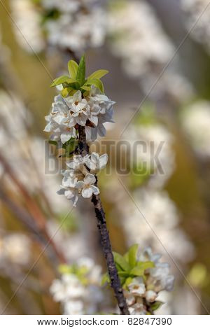 Blooming Daphne In Spring