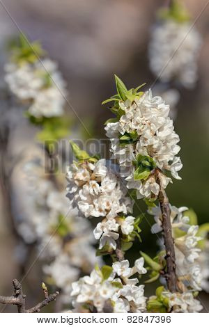 White Spring Branches