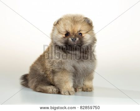 Pomeranian Puppy Over White Background