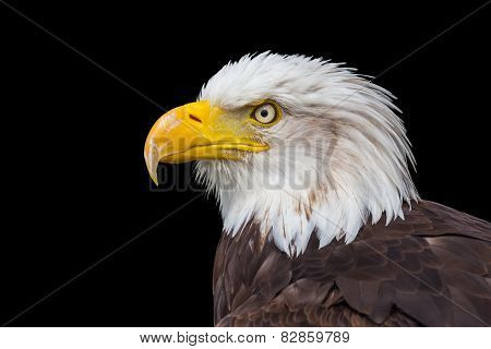 Head of sea eagle on black background