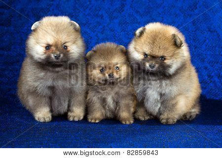 Three Pomeranian Puppies Age Of 1,5 Month Over Blue Background
