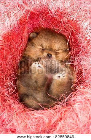 Pomeranian Puppy In Pink Decorative Nest
