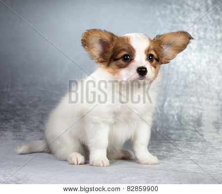 Papillon Puppy Sitting On A Silvery Background