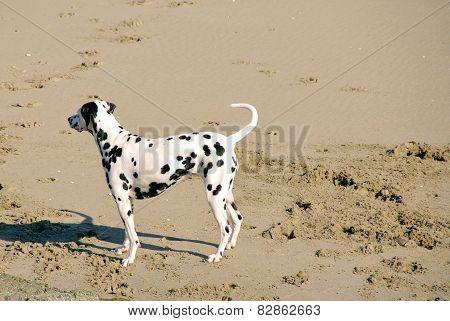 A Dalmatian dog on the beach