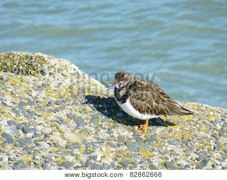 The snowy or kentish plover