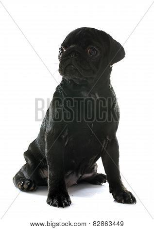 Puppy Pug