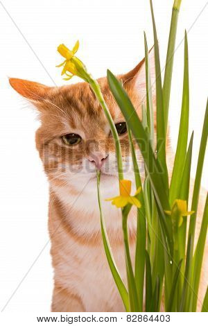 Orange Domestic Cat And Daffodils