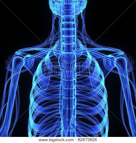 Skeleton rib cage