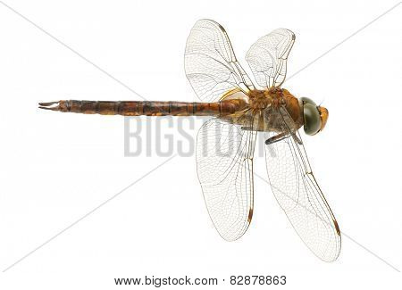 dragonfly isolated on a white background
