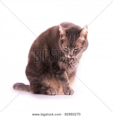 Blue tabby cat licking her paw, on white