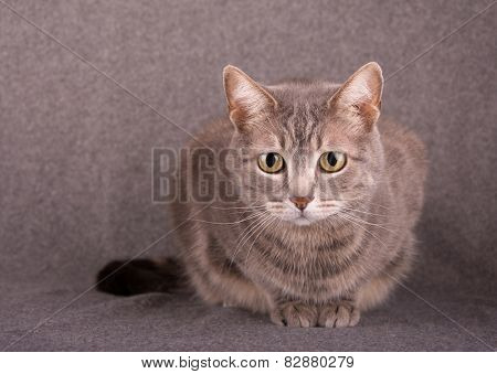 Blue tabby cat against light gray background
