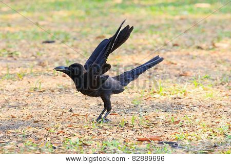 Close Up Black Birds Crow Perching On Field