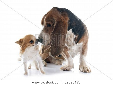 Basset Hound And Chihuahua