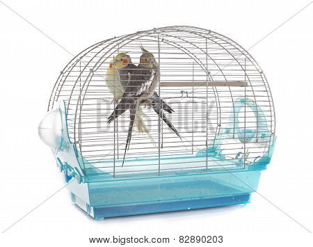 Cockatiel In Cage
