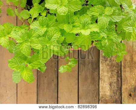 Top View Of Fresh Kitchen Mint - Herbs Plant