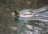 pic of male mallard  - Mallard  - JPG