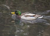 image of male mallard  - Mallard  - JPG