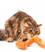 stock photo of love bite  - Hungry siberian cat biting delicious sausages over white background - JPG