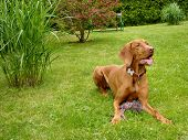 stock photo of vizsla  - The Hungarian Vizsla is commanded to lie down and stay - JPG
