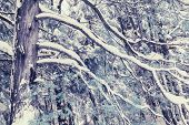 Постер, плакат: Infrared Snow Covered Cedar Tree