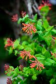 stock photo of trumpet flower  - A detailed close up of trumpet honeysuckle flowers blooming - JPG
