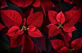 picture of poinsettia  - A close up detail of poinsettia plant leaves - JPG
