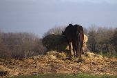 stock photo of feeding horse  - Ainge horse feeding on a hay bale - JPG
