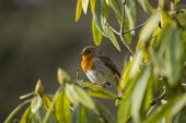 picture of red robin  - Robin Red Breast spotted in National Botanic Gardens Dublin Ireland - JPG