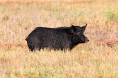 picture of razorback  - Wild Boar feeding in the Florida Everglades - JPG