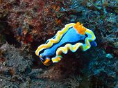 stock photo of slug  - The surprising underwater world of the Bali basin, true sea slug
