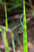 foto of mating animal  - damselflies are mating on the grass shoot - JPG