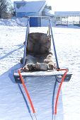 stock photo of sled-dog  - sleds for a ride on a dog sled in winter - JPG