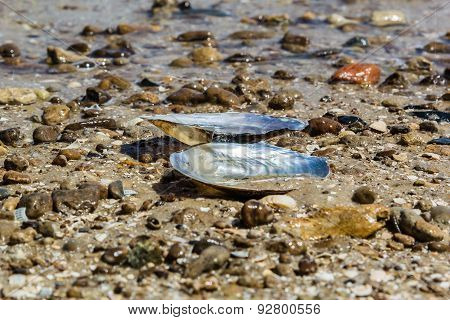 Mussel Shell On The Sand On The Beach