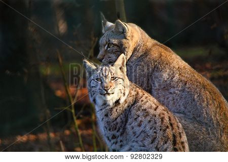 Young Lynx With The Mother