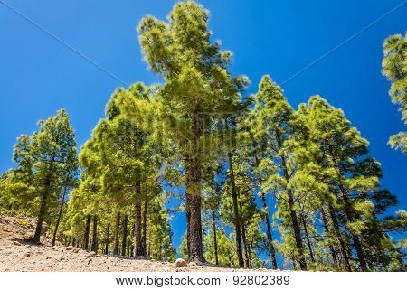 Pine trees in Gran Canaria