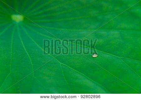 Water Drop On Lotus Leaf
