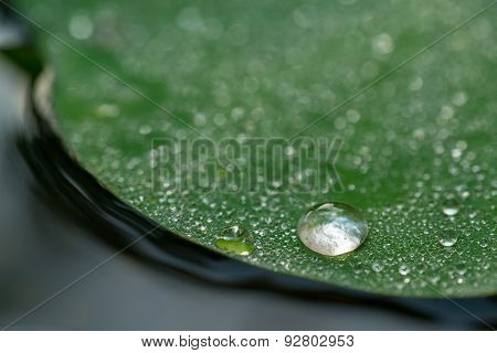 Dew Drops on Edge of Lotus Leaf