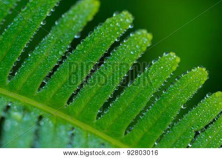 Dew Drops On Fern Leaf
