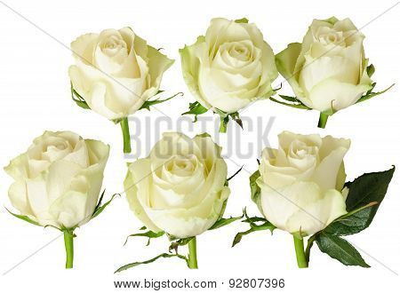 Set Of Beautiful White Rose With Rain Drops Isolated On White