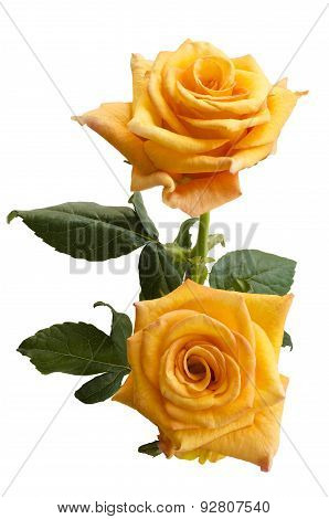 Beautiful Two Yellowish Orange Roses Isolated On White Background