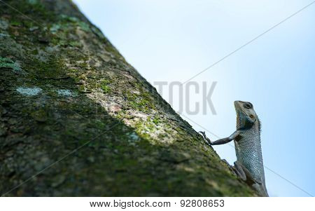 Lizard Posing Like a Toad on Tree