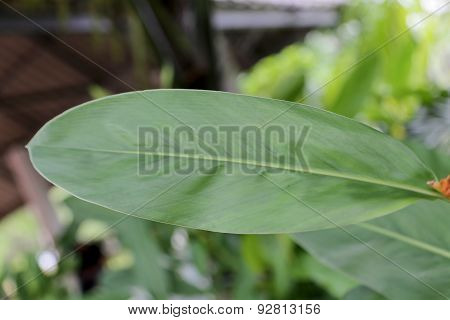 Green Leaves, Galangal