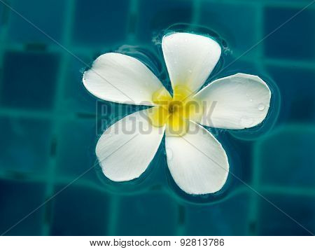 White plumeria floating in the swimming pool.