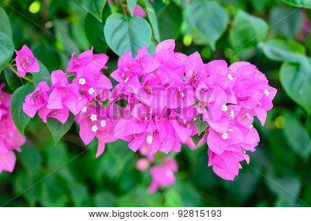 Bougainvillea Flowers Pink And Green Branch Garden