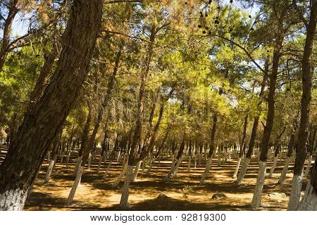 Windblown Pine Trees in Didim Turkey