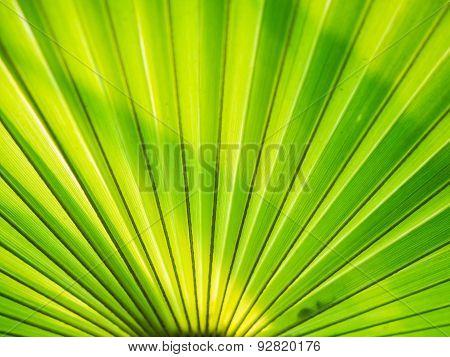 Green, sugar palm leaf background.