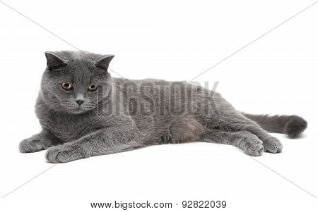 Beautiful Gray Cat Lying On A White Background. Horizontal Photo.