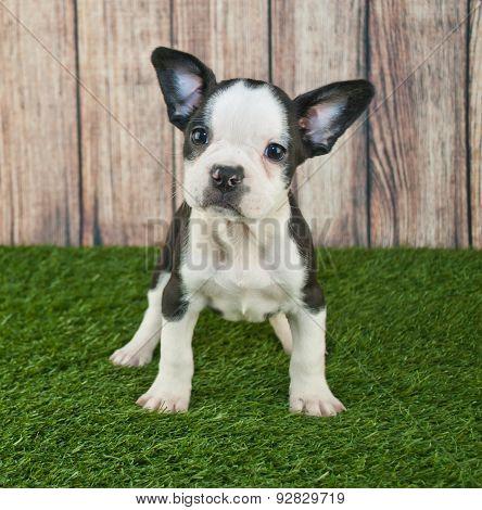 Frenchton Puppy